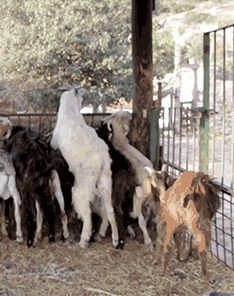 5a450121a0113_goat-with-the-wind.jpg